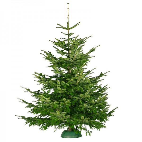 Nordmanntanne Weihnachtsbaum.Nordmanntanne Von 2 20 2 40 Meter